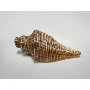 Chinese conch Trumpet
