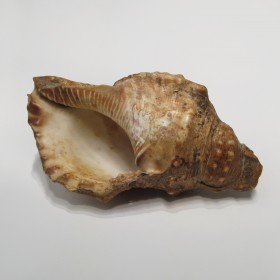 Conch Trumpet from the South Seas
